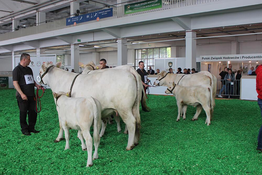 11. Ocena zw. kat. krowy z ciel. rasy CH (2)