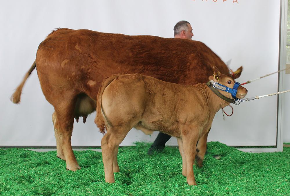 21. Krowa z ciel. LM - LOARA CZ